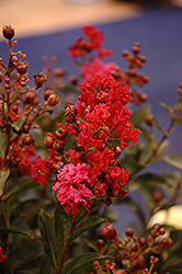 Enduring Summer™ Red Crapemyrtle (Lagerstroemia 'PIILAG B5') at TLC Garden Centers