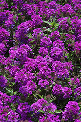 Homestead Purple Verbena (Verbena 'Homestead Purple') at TLC Garden Centers
