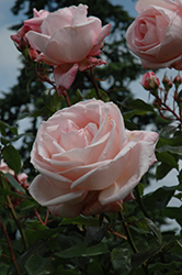 New Zealand Rose (Rosa 'MACgenev') at TLC Garden Centers