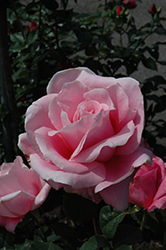 Bewitched Rose (Rosa 'Bewitched') at TLC Garden Centers