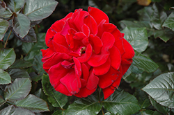 Drop Dead Red Rose (Rosa 'Drop Dead Red') at TLC Garden Centers