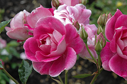 Brilliant Pink Iceberg Rose (Rosa 'Brilliant Pink Iceberg') at TLC Garden Centers