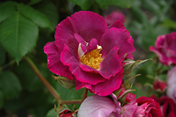 Stormy Weather Rose (Rosa 'ORAfantanov') at TLC Garden Centers