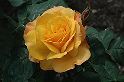 Good As Gold Rose (Rosa 'WEKgobafa') at TLC Garden Centers