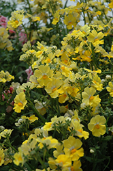 Sunsatia Lemon Nemesia (Nemesia 'Sunsatia Lemon') at TLC Garden Centers