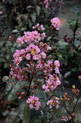 Rhapsody In Pink Crapemyrtle (Lagerstroemia indica 'Whit VIII') at TLC Garden Centers