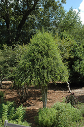 Weeping Yaupon Holly (Ilex vomitoria 'Pendula') at TLC Garden Centers