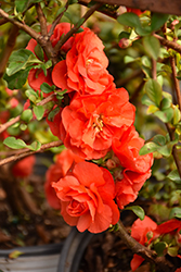 Double Take Orange™ Flowering Quince (Chaenomeles speciosa 'Double Take Orange Storm') at TLC Garden Centers