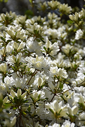Snow Azalea (Rhododendron 'Snow') at TLC Garden Centers