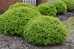 Dwarf Yaupon Holly (Ilex vomitoria 'Nana') at TLC Garden Centers