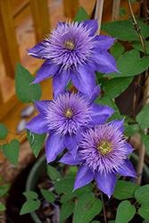 Multi Blue Clematis (Clematis 'Multi Blue') at TLC Garden Centers