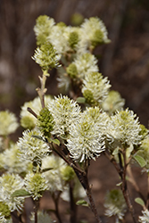 Mt. Airy Fothergilla (Fothergilla major 'Mt. Airy') at TLC Garden Centers