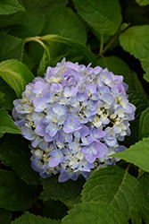Let's Dance® Moonlight Hydrangea (Hydrangea macrophylla 'Robert') at TLC Garden Centers