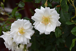 Flower Carpet White Rose (Rosa 'Flower Carpet White') at TLC Garden Centers