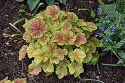 Miracle Coral Bells (Heuchera 'Miracle') at TLC Garden Centers