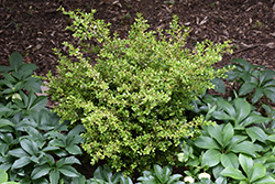 Golden Dream Boxwood (Buxus microphylla 'Peergold') at TLC Garden Centers