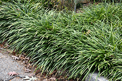 Big Blue Lily Turf (Liriope muscari 'Big Blue') at TLC Garden Centers