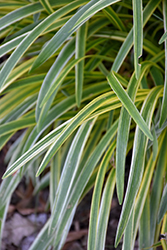 Silvery Sunproof Variegated Lily Turf (Liriope muscari 'Silvery Sunproof') at TLC Garden Centers