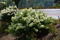 Little Lime® Hydrangea (Hydrangea paniculata 'Jane') at TLC Garden Centers