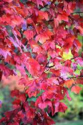 Red Maple (Acer rubrum) at TLC Garden Centers