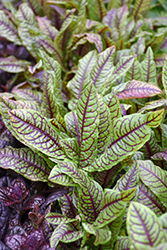 Ornamental Sorrel (Rumex sanguineus) at TLC Garden Centers