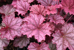 Berry Smoothie Coral Bells (Heuchera 'Berry Smoothie') at TLC Garden Centers