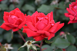 Double Knock Out® Rose (Rosa 'Radtko') at TLC Garden Centers