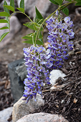 Blue Moon Wisteria (Wisteria macrostachya 'Blue Moon') at TLC Garden Centers