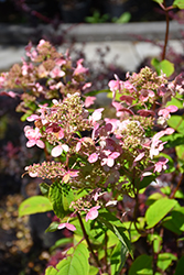 Fire And Ice Hydrangea (Hydrangea paniculata 'Wim's Red') at TLC Garden Centers