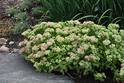 Autumn Delight Stonecrop (Sedum 'Autumn Delight') at TLC Garden Centers
