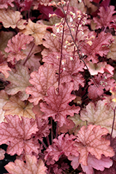 Ginger Peach Coral Bells (Heuchera 'Ginger Peach') at TLC Garden Centers