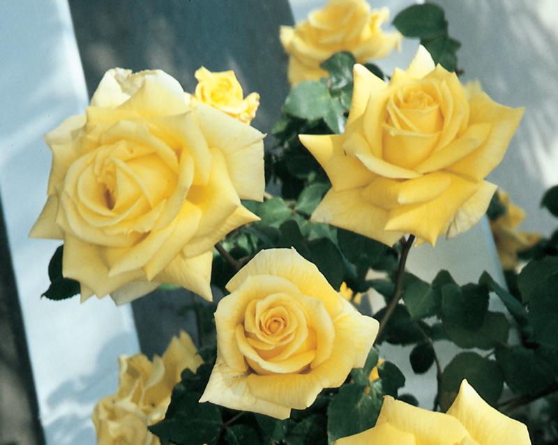 Royal Gold Rose (Rosa 'Royal Gold') in Oklahoma City Edmond Norman Moore Oklahoma OK at TLC ...