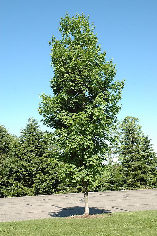 Caddo Sugar Maple Acer Saccharum Caddo In Oklahoma