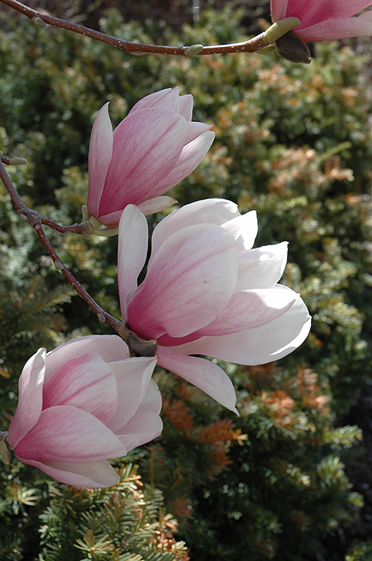 Saucer Magnolia Magnolia X Soulangeana In Oklahoma City Edmond