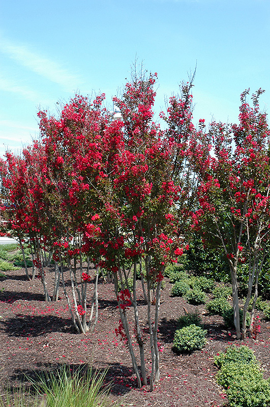 Red Rocket Crapemyrtle Lagerstroemia Indica Whit Iv In
