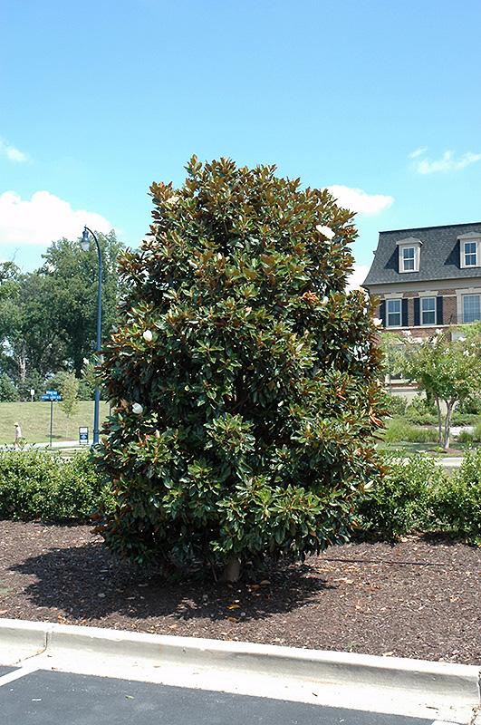 Little Gem Magnolia Magnolia Grandiflora Little Gem In Oklahoma