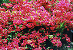 Hino Red Azalea (Rhododendron 'Hino Red') at TLC Garden Centers