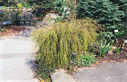Threadleaf Arborvitae (Thuja plicata 'Filiformis') at TLC Garden Centers