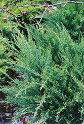Sea Green Juniper (Juniperus chinensis 'Sea Green') at TLC Garden Centers