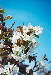 Bing Cherry (Prunus avium 'Bing') at TLC Garden Centers