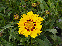 Domino Tickseed (Coreopsis 'Domino') at TLC Garden Centers