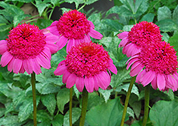 Gum Drop Coneflower (Echinacea 'Gum Drop') at TLC Garden Centers