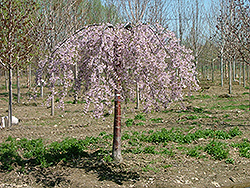 Pink Snow Showers Weeping Cherry (Prunus 'Pisnshzam') at TLC Garden Centers