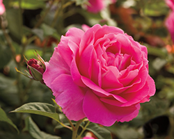 Grande Dame Rose (Rosa 'WEKmerewby') at TLC Garden Centers