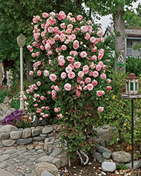 Pearly Gates Rose (Rosa 'WEKmeyer') at TLC Garden Centers