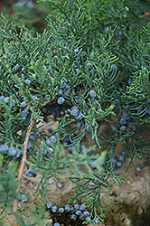 Grey Owl Redcedar (Juniperus virginiana 'Grey Owl') at TLC Garden Centers