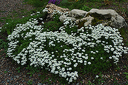 Candytuft (Iberis sempervirens) at TLC Garden Centers