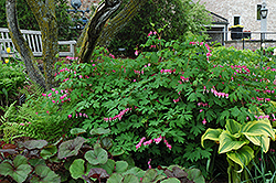 Common Bleeding Heart (Dicentra spectabilis) at TLC Garden Centers