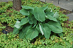 Blue Angel Hosta (Hosta 'Blue Angel') at TLC Garden Centers