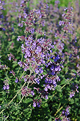 Walker's Low Catmint (Nepeta x faassenii 'Walker's Low') at TLC Garden Centers
